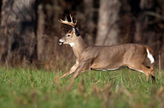Whitetail deer buck running through meadow