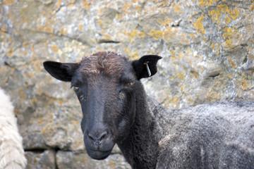 Closeup of black faced sheep