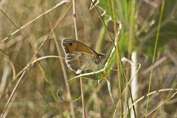 Mariposa con ojo en el ala.