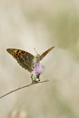Mariposa libando en una flor púrpura.