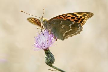 Mariposa sobre flor púrpura.