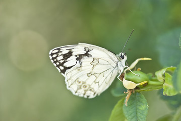 Mariposa sobre un escaramujo.