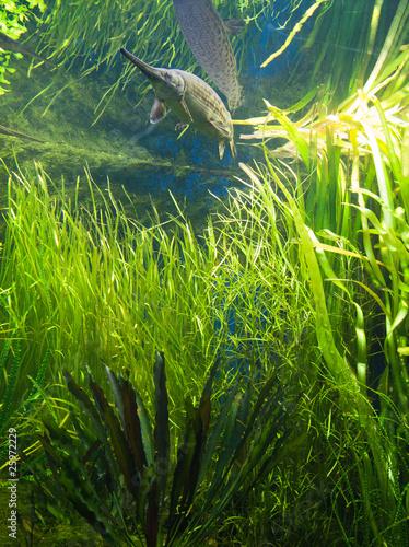 aquarium et poisson d 39 eau douce photo libre de droits sur la banque d 39 images. Black Bedroom Furniture Sets. Home Design Ideas