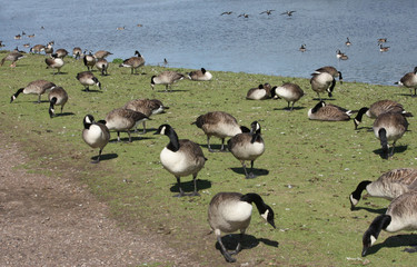 A Flock of Geese at a Lakeside on a Sunny Day.