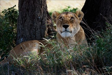 Lioness in an acacia shade