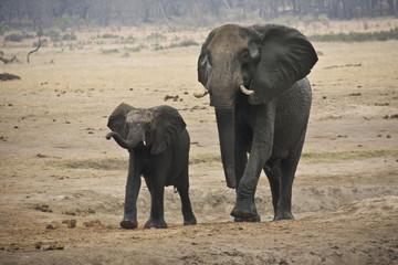 Слоны семья