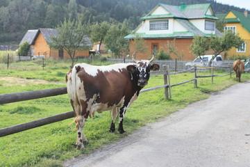 Тельная корова