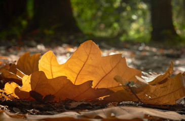 The oak leaves fall to the forest trail