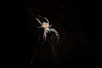 Cross or European spider (Araneus diadematus) in its web
