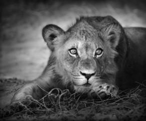 Young lion portrait - fototapety na wymiar