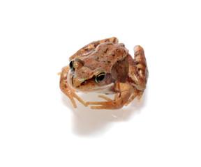 frog, isolated.