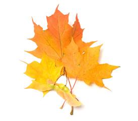 Maple leaves.