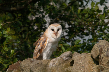 Barn Owl on dry stone wall