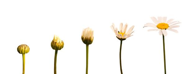Etapes de la croissance d'une marguerite, fond blanc