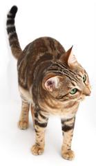 Neugierige Bengalkatze