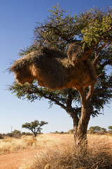 Huge bird's nest in a tree in Namibia