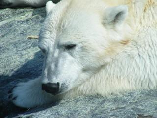 Poster de jardin Ours Blanc Eisbär