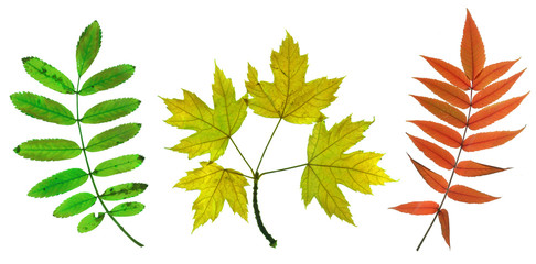 Autumn leaves of maple, sorb and ash tree