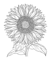 sunflower line art asolated