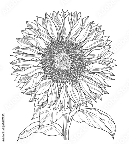 Line Art Sunflower : Quot sunflower line art asolated stock image and royalty free