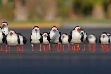 Fotoväggar - Flock of Black Skimmers