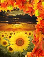 fall field with sunflowers