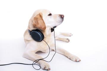 Labrador headset
