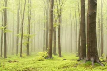 Keuken foto achterwand Bos in mist Spring deciduous forest surrounded by mountain mist
