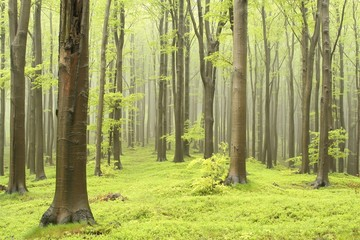 Spring beech forest on a foggy morning