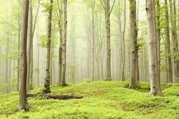 Keuken foto achterwand Bos in mist Fairytale beech forest in a nature reserve