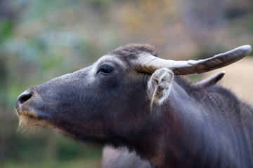 Water buffalo with huge horns