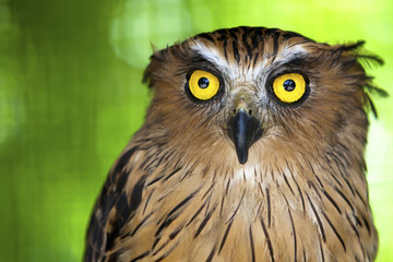 Wall Mural - Close up of an Eagle owl with piercing yellow eyes.