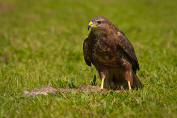 Buzzard with prey
