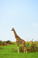 Giraffes in the african savannah, Uganda