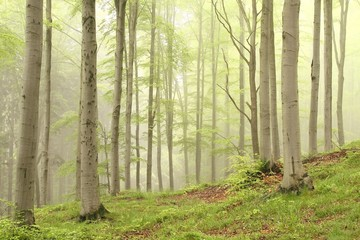 Keuken foto achterwand Bos in mist Spring deciduous forest surrounded by mist