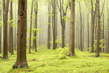 Keuken foto achterwand Bos in mist Spring fairytale forest with mist moving between the trees