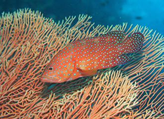 Juwelen Zackenbarsch Coral Grouper Cephalopholis miniata