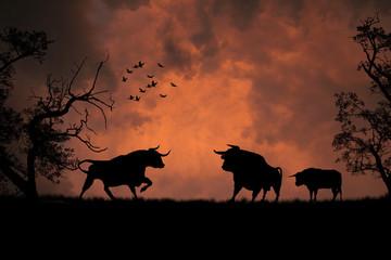 Black bulls in the sunset
