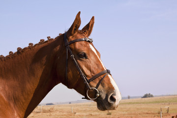 Portrait of a chestnut horse with white nose patch