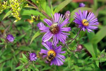 Astern und Bienen 52079