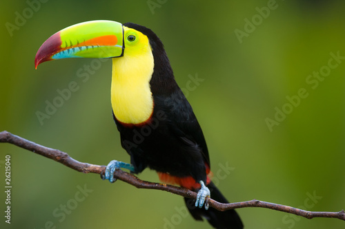 Wall mural Keel Billed Toucan, from Central America.