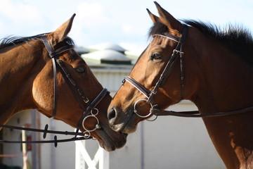 chevaux amoureux