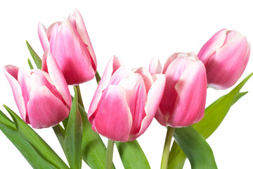 holiday tulips bouquet isolated on white