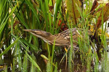 European Bittern hiding in reeds