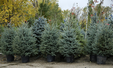 row of fir trees ready for planting