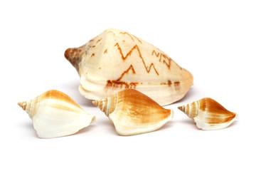 Spiral Seashell