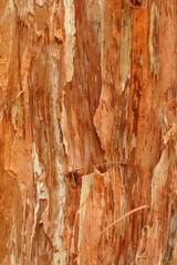 Abstract Background Texture of a Paperbark Tree (Melaleuca)
