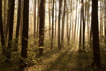 Keuken foto achterwand Bos in mist Misty spring forest illuminated by the rising sun