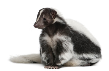 Striped Skunk, Mephitis Mephitis, 5 years old, sitting
