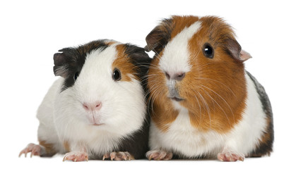Fototapete - Guinea pigs, 3 years old, lying in front of white background
